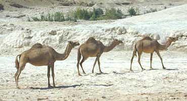 Camel Sacrifice —